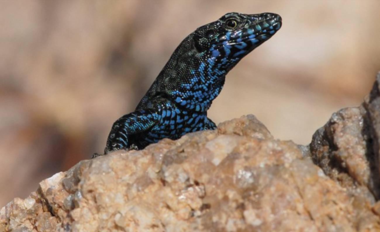 lucertola blu di Molarotto