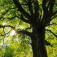 Sii albero